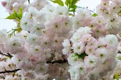 Glamorous cherry blossoms Stock Images