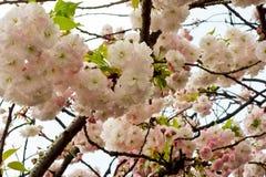 Glamorous cherry blossoms Stock Image