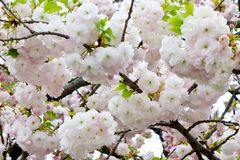 Glamorous cherry blossoms Royalty Free Stock Images