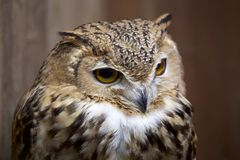 Pharaoh eagle owl face. The appearance of the owl is fearless Royalty Free Stock Photography