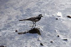 White wagtail. The appearance that White wagtail fly around is very elegant Stock Photos