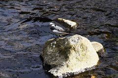 White wagtail. The appearance that White wagtail fly around is very elegant Royalty Free Stock Photography