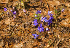 Appearance of young blue spring flowers from under last year`s d. Closeup image of young blue spring flowers just emerged from under last year`s dry leaves royalty free stock image