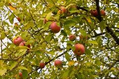 Appel-boom Royalty-vrije Stock Afbeeldingen