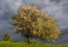 Appel-boom Stock Foto's