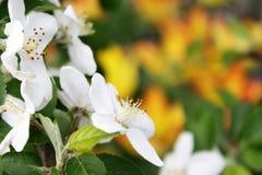 Appel-boom bloemen Stock Fotografie