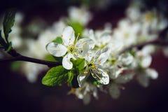 Appel-boom bloemen Stock Foto's