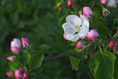 Appel-boom bloemen Royalty-vrije Stock Foto