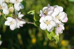 Appel-boom bloemen Royalty-vrije Stock Foto's