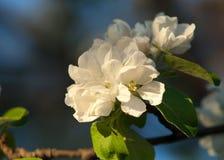 Appel-boom bloemen De lentetuin - Bloeiende Boom De appelboom van de bloesem Het mooie bloeien van appelbomen over blauwe hemel i Stock Afbeelding