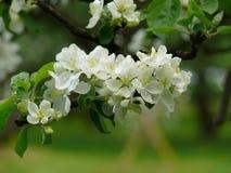 Appel-boom. Het tot bloei komen. Bloem. Royalty-vrije Stock Foto's