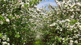 Appel-boom tuin stock video