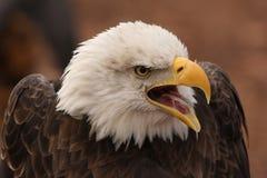 Appel du sauvage Photographie stock libre de droits