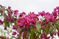 appel met roze bloemen Stock Fotografie