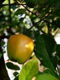 Appel op appelboom Stock Foto's