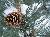 Appel-pine Royalty Free Stock Images