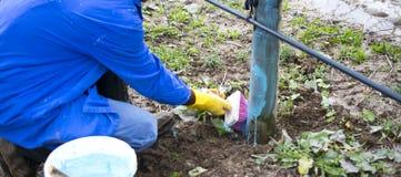 appelbomen in maart met het mengsel van Bordeaux worden behandeld om schimmel te bestrijden die Het mengsel van Bordeaux wordt to stock afbeeldingen