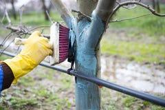 appelbomen in maart met het mengsel van Bordeaux worden behandeld om schimmel te bestrijden die Het mengsel van Bordeaux wordt to royalty-vrije stock fotografie