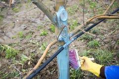 appelbomen in maart met het mengsel van Bordeaux worden behandeld om schimmel te bestrijden die Het mengsel van Bordeaux wordt to stock foto's