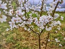 appelboom die in de lente bloeien Stock Afbeelding