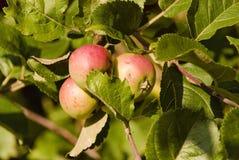 Appelen, appel, fruit, rood, verse achtergrond, de herfst, daling Stock Afbeelding