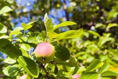Appelen, appel, fruit, rood, verse achtergrond, de herfst, daling Royalty-vrije Stock Foto