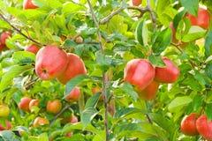 Appelen in boom stock afbeeldingen