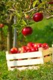 Appelen in boomgaard stock foto's
