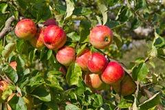 Appelen in de herfst royalty-vrije stock afbeelding