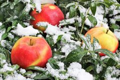 Appelen in de sneeuw royalty-vrije stock fotografie