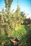 appelen in de tuin in de herfst Stock Afbeelding