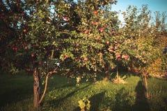 appelen in de tuin in de herfst Stock Afbeeldingen