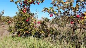 Appelen in de tuin stock videobeelden