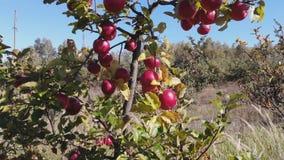 Appelen in de tuin stock footage