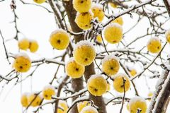 appelen die die bij een boom hangen met rijp wordt behandeld stock fotografie