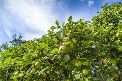 Appelen die van boom hangen Royalty-vrije Stock Afbeelding
