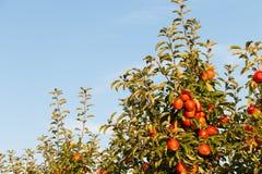 Appelen die van een tak van een gecultiveerde appelboom hangen stock afbeelding