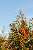 Appelen die van een tak van een gecultiveerde appelboom hangen stock afbeeldingen