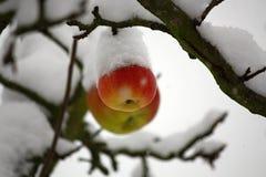 Appelen door Sneeuw, Tsjechische Republiek, Europa worden behandeld dat Stock Afbeeldingen
