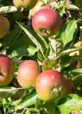 Appelen in een boom royalty-vrije stock afbeeldingen