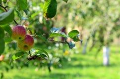 Appelen in een boom Royalty-vrije Stock Foto's