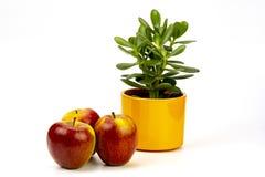 Appelen en succulent stock afbeeldingen