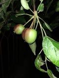 Appelen, jonge kleine opbrengsten bij nacht stock foto