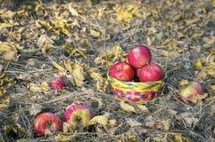 Appelen in mand in de tuin Stock Fotografie