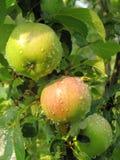Appelen met dalingen van regen stock afbeelding