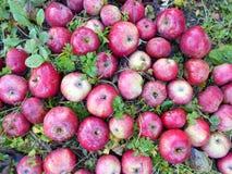 Appelen in mijn tuin stock foto