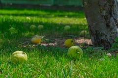 Appelen onder de appelboom in de zomer Royalty-vrije Stock Foto