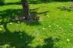 Appelen onder de appelboom in de zomer Royalty-vrije Stock Afbeeldingen