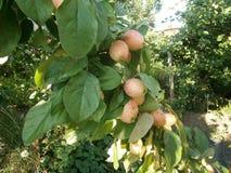 Appelen op appelboom stock foto's