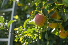 Appelen op bomen, ladder op achtergrond royalty-vrije stock afbeelding